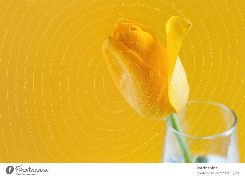 Gelbe Tulpen auf gelbem Grund schön Muttertag Ostern Geburtstag Erwachsene Frühling Blume Blüte Blumenstrauß Liebe hell trendy weiß romantisch März Hintergrund