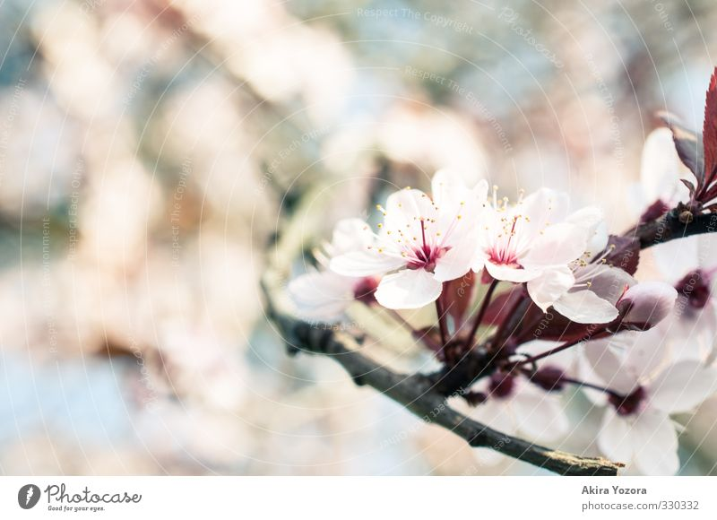 S.P.R.I.N.G. Natur Pflanze Frühling Baum Blüte Blühend Wachstum blau braun grün rosa rot Frühlingsgefühle Vorfreude Romantik Beginn Umwelt Kirschblüten