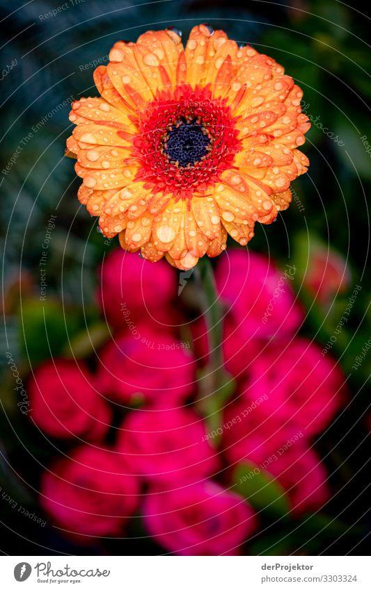 Blume am Grab von Rio Reiser Pflanze schön Winter Umwelt Liebe Blüte Traurigkeit Gefühle Berlin Tod Regen ästhetisch Beginn Trauer Rose