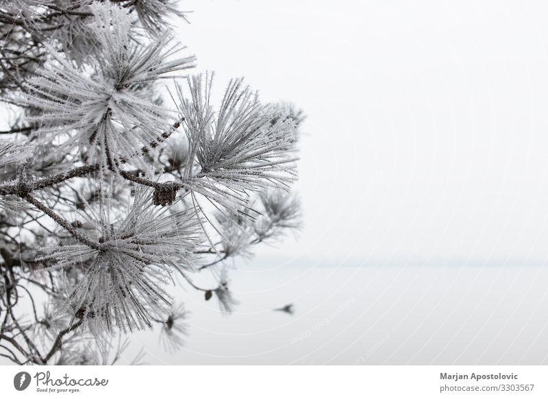 Nahaufnahme einer gefrosteten Kiefer im Winter Umwelt Natur Pflanze Wasser Wolkenloser Himmel Wetter Nebel Eis Frost Baum Küste Flussufer See Coolness kalt
