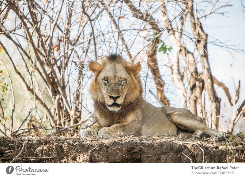 Männlicher Löwe in freier Wildbahn Safari Tier Afrika Farbfoto Außenaufnahme Ferien & Urlaub & Reisen Tierporträt Wildtier Tansania Bäume Blick in die Kamera