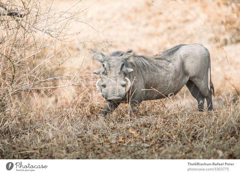 Warzenschwein in der Wildniss Safari Tier Afrika Farbfoto Außenaufnahme Ferien & Urlaub & Reisen Tierporträt Wildtier Tansania Blick in die Kamera entdecken 1