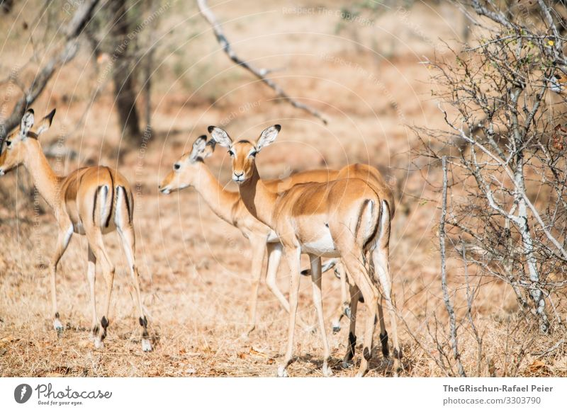 Gazellengruppe in Tanzania Safari Tier Afrika Farbfoto Außenaufnahme Ferien & Urlaub & Reisen Tierporträt Tansania Blick in die Kamera entdecken Abenteuer