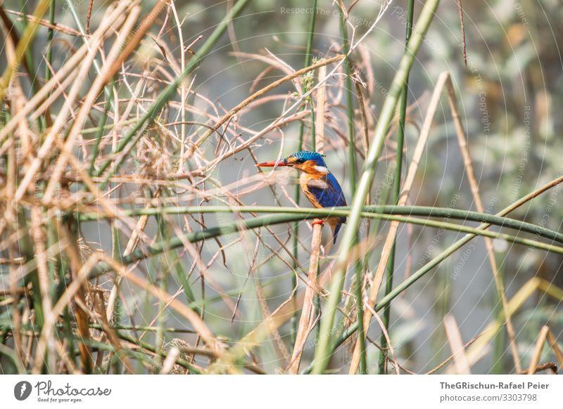 Kingfisher im Schilf kingfisher Vogel Tier Farbfoto Wildtier Natur blau Menschenleer Nahaufnahme Schnabel Tag Eisvögel Safari bunt Ästethik