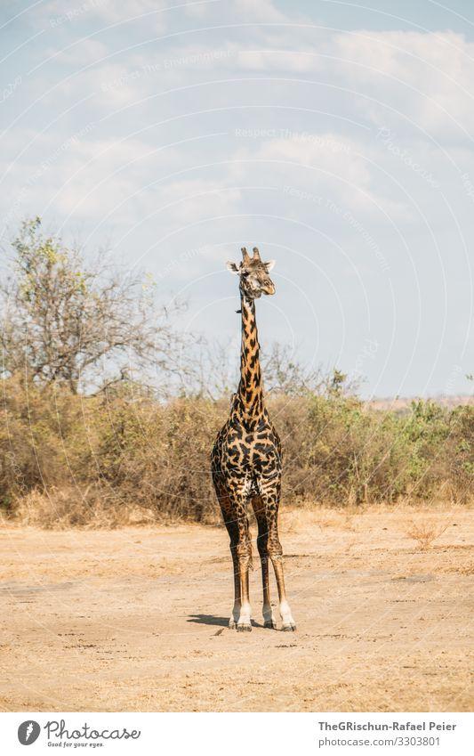 Giraffe Baum Savanne trocken Afrika Landschaft Natur Farbfoto Himmel Umwelt Safari Muster Zeichnung Tier Außenaufnahme Säugetier Ferien & Urlaub & Reisen braun