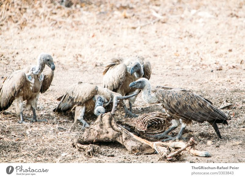 Vier Geier beim Essen eines toten Tiers Vogel Feder Außenaufnahme Aasfresser Tierwelt Fressen Schnabel Knochen Beute grau trocken staubig Raubtier Raptor