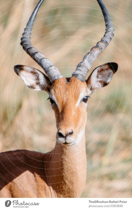 Gazellenportrait Safari Tier Afrika Farbfoto Außenaufnahme Ferien & Urlaub & Reisen Tierporträt Tansania Blick in die Kamera entdecken 1 Menschenleer Natur