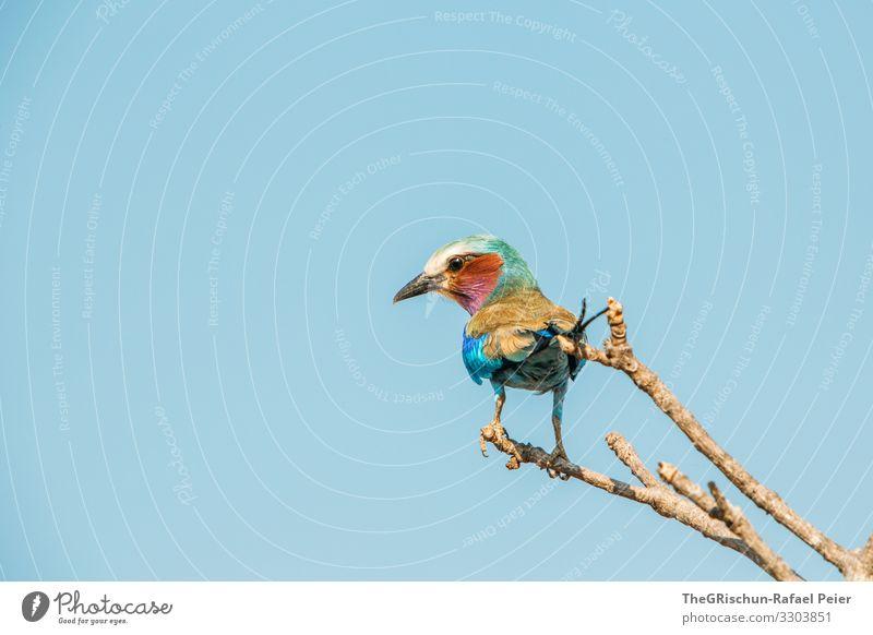Gabelracke auf einem Ast in Tansania Vogel Tier Farbfoto Wildtier Natur blau Menschenleer Schnabel Tag Safari bunt Ästethik Federn bunt gemischt glänzend