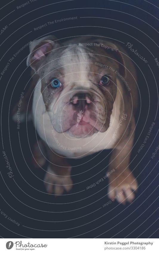 ich bin ein lieber Bully Lifestyle Tier Haustier Hund Tiergesicht Farbfoto Innenaufnahme Nahaufnahme Detailaufnahme Menschenleer Kunstlicht Kontrast