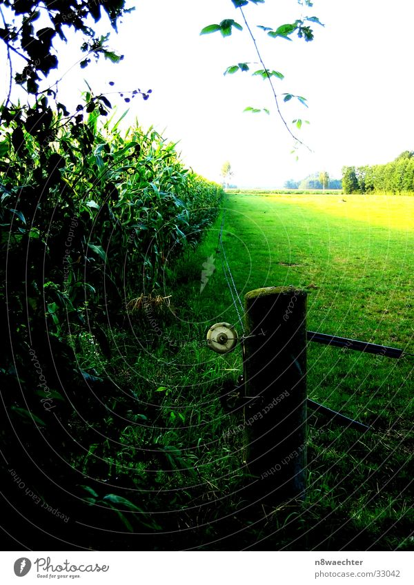 Maisfeld grün gelb Ferne dunkel hell Zaun Zwillbrocker Venn