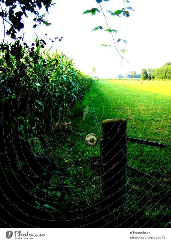 Maisfeld grün gelb Zwillbrocker Venn Zaun dunkel Abend Lichterscheinung Kontrast hell Ferne