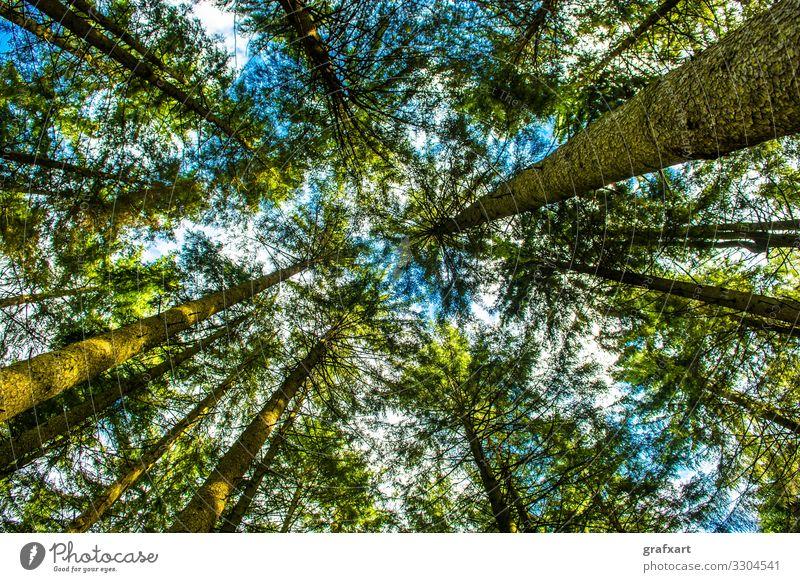 Blick hinauf in die Baumkronen eines Nadelwaldes bäume baumkrone biodiversität blätter erholung forstwirtschaft frisch green grün himmel hoch industrie