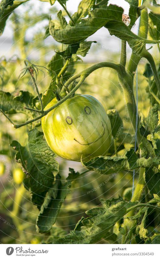 Glückliche Grüne Tomate mit Lachendem Gesicht landwirtschaft alleine kunst hintergrund botanik emotion umwelt augen gesicht gefühl essen nahrung nahrungsmittel