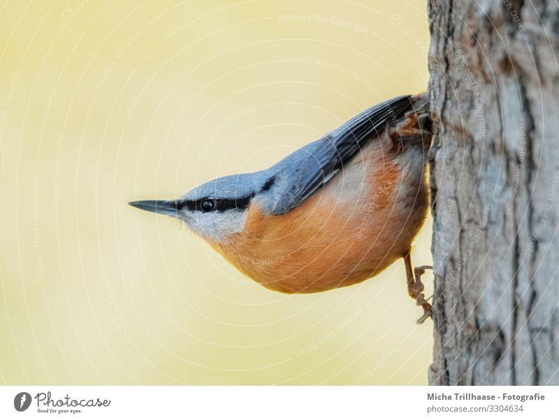 Kleiber hängt am Baumstamm Natur Tier Sonnenlicht Schönes Wetter Wildtier Vogel Tiergesicht Flügel Krallen Kopf Schnabel Auge Feder gefiedert 1 beobachten