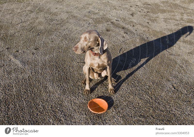 sitzende Hündin mit Wurfscheibe und Schatten Hund Haustier Tier Weimaraner Jagdhund Tierporträt Halsband Blick zur Seite Außenaufnahme Kies