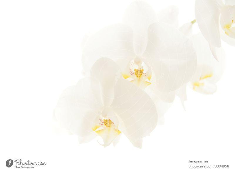 """Orchideen Pflanze Blüte Orchideenblüte Phalaenopsis exotisch schön Trauer """"zweig weiß mondorchidee nahaufnahme orchideen hell hintergrund unschärfe hintergrund"""