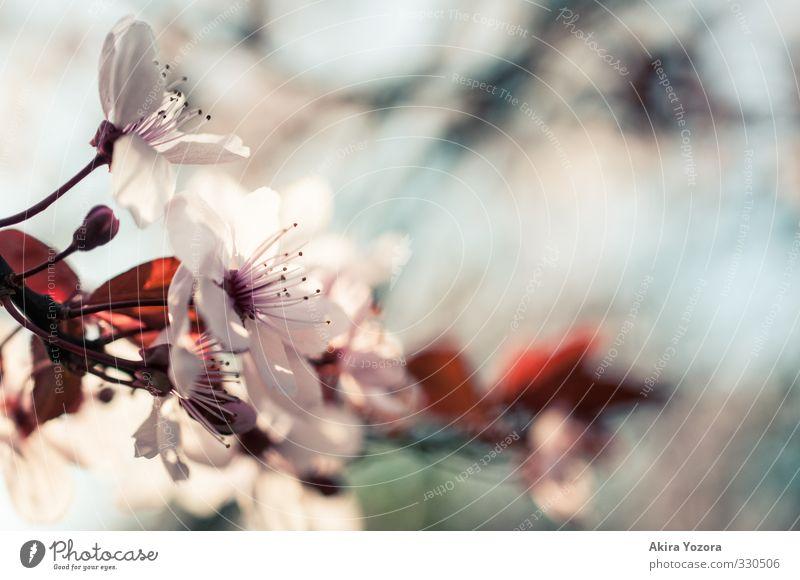 S.P.R.I.N.G. II Natur Pflanze Frühling Blüte Blühend blau rosa weiß Frühlingsgefühle Kirschblüten Farbfoto Außenaufnahme Detailaufnahme Menschenleer