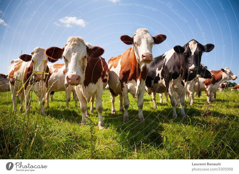 Kuhherde auf der Weide Fleisch Natur Tier Herde Fressen niedlich Ackerbau Biest Rindfleisch bovin Land Molkerei Bauernhof Großgrundbesitz Feld Kopf Färse