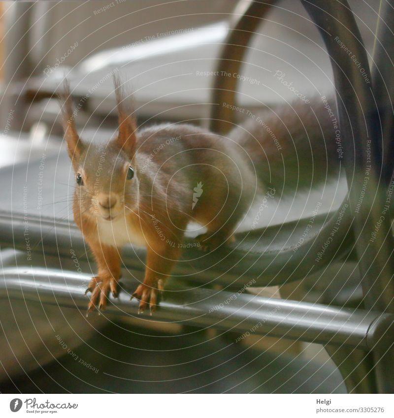 Eichhörnchen schaut neugierig durchs Fenster Umwelt Natur Tier Winter Terrasse Wildtier 1 Stuhl Blick sitzen außergewöhnlich einzigartig klein Neugier braun