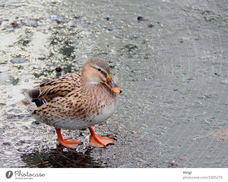 Ente steht auf einer Eisfläche Umwelt Natur Tier Wasser Winter Frost Teich Wildtier Vogel 1 frieren Blick stehen authentisch kalt natürlich braun grau orange