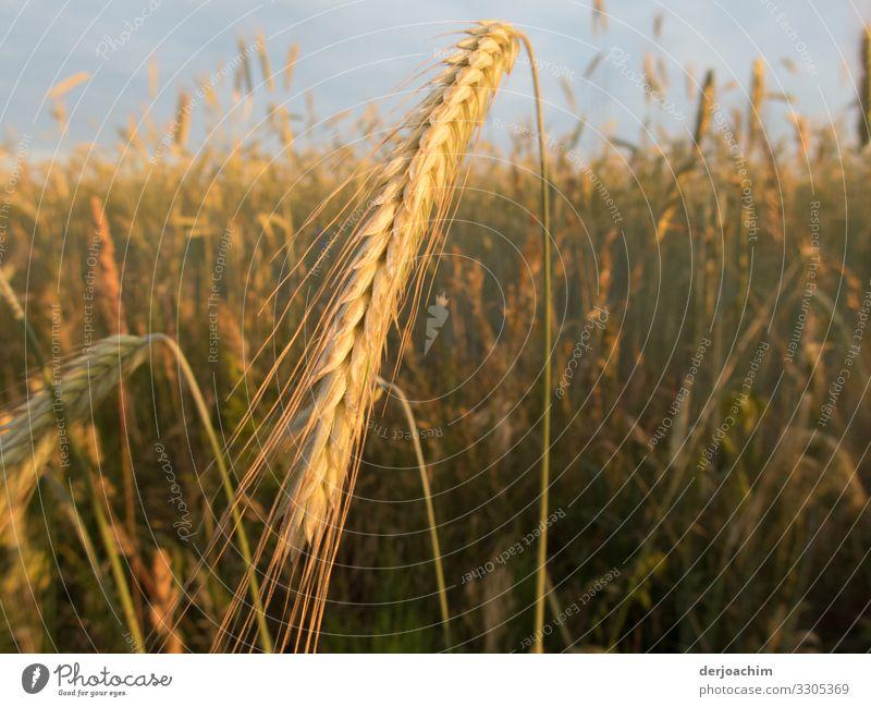Erntezeit. Der Weizen steht gerade in voller Blüte. Die Halme biegen sich. Ernährung Erholung wandern Umwelt Natur Sommer Schönes Wetter Getreidefeld Feld