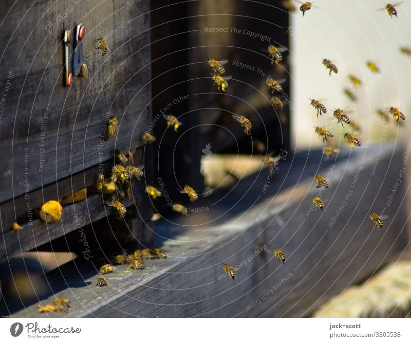 Schwarm aller Bienen Imkerei Bienenstock Holz 14 fliegen authentisch niedlich viele Leben organisiert lackiert Honigbiene Sozialstruktur Schwärmerei