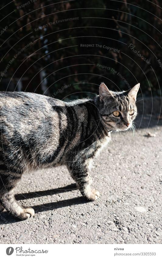 Getigerte Katze Katzenfutter Freiheit Umwelt Kleinstadt Stadt Wege & Pfade Tier Haustier Tiergesicht Fell Pfote 1 Beton beobachten entdecken fangen Blick frech