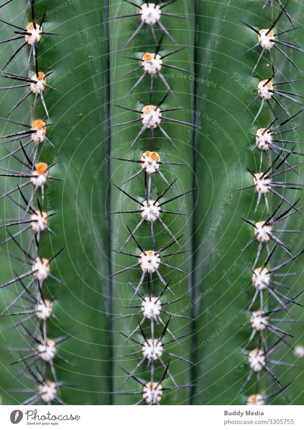 Browningia Kaktus Nahaufnahme Natur Pflanze schön grün weiß Umwelt kalt natürlich außergewöhnlich orange Angst gold Kraft authentisch groß Spitze