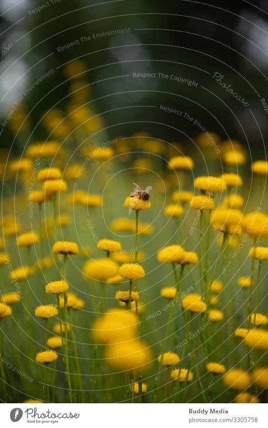 Biene sitzt auf einer Rainfarn-Blüte Gartenarbeit Umwelt Natur Pflanze Tier Blume Farn Grünpflanze Nutzpflanze Feld Nutztier Wildtier 1 Duft dünn klein gelb
