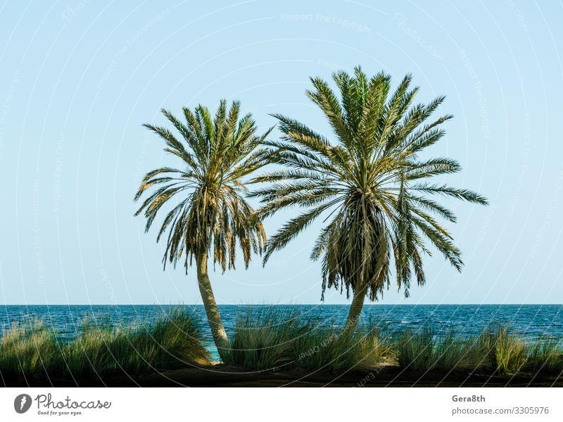 grüne Palmen am Roten Meer in Ägypten Dahab Erholung Ferien & Urlaub & Reisen Tourismus Sommer Strand Wellen Natur Landschaft Pflanze Sand Himmel Horizont Baum