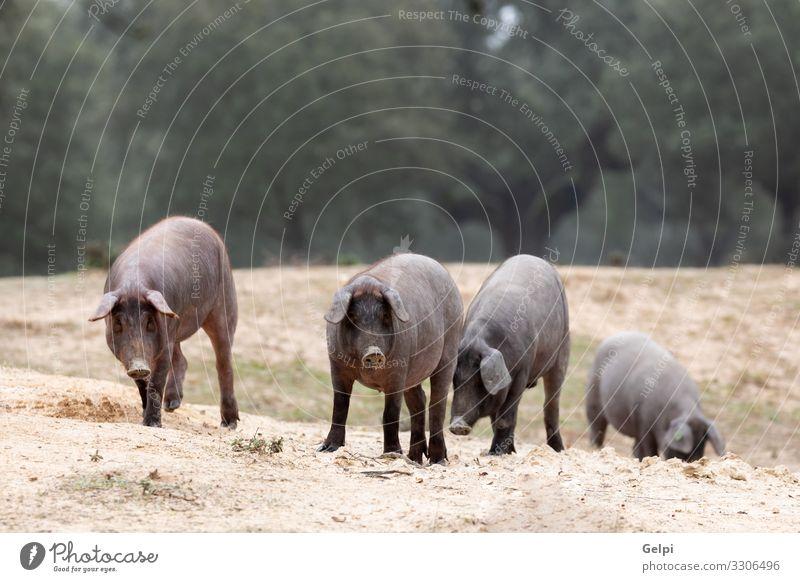 Iberische Schweine auf der Weide Fleisch Essen Gastronomie Natur Landschaft Tier Baum Wiese Pfote Herde Fressen füttern schwarz Hausschwein Bauernhof