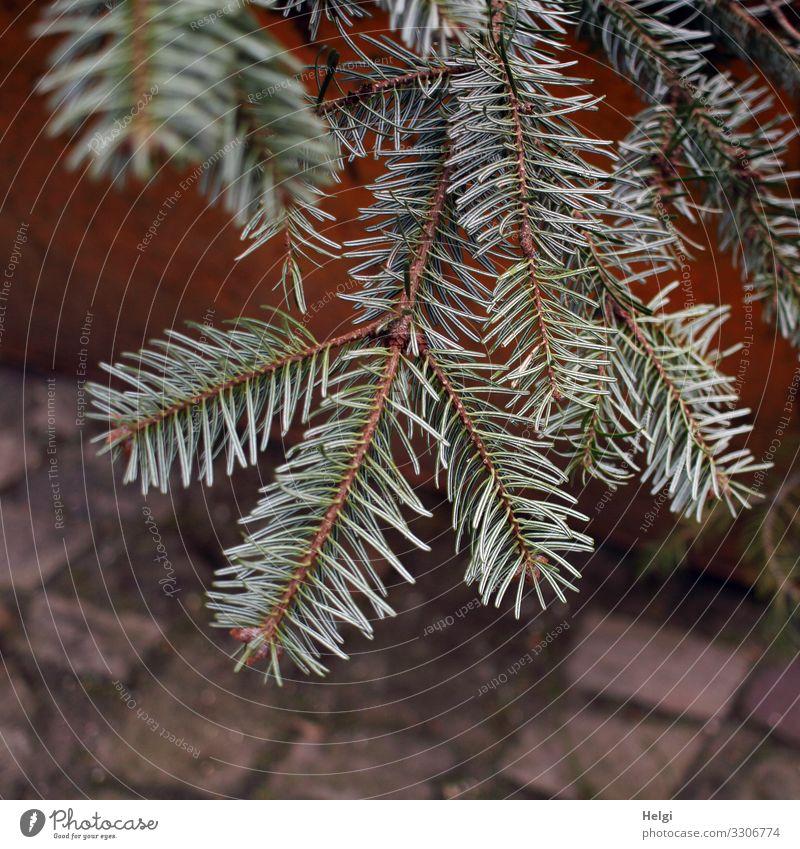ausgediente vertrocknete Tannenzweige in einem Abfallcontainer Umwelt Natur Pflanze Tannennadel Stein liegen authentisch einfach natürlich braun grün