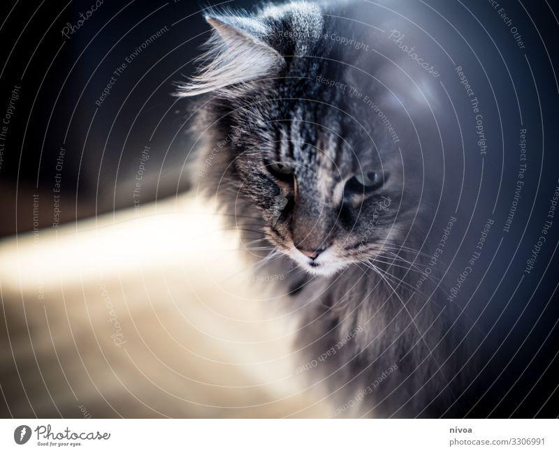 Katzengesicht Tier Haus Haustier Tiergesicht Fell Norwegische Waldkatze 1 beobachten fangen Jagd träumen frech frei Freundlichkeit Fröhlichkeit Gesundheit schön