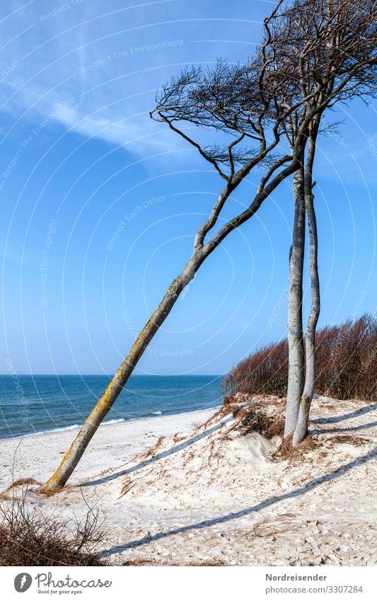Windflüchter am Weststrand Ferien & Urlaub & Reisen Tourismus Sommerurlaub Natur Landschaft Urelemente Sand Wasser Wolkenloser Himmel Frühling Schönes Wetter