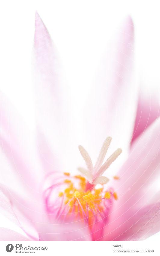 Das Innere einer Osterkaktus-Blüte Hoffnung elegant Frühlingsgefühle Kraft Farbfoto leuchten Blühend Blume Pflanze Sommer mehrfarbig Blütenstempel Pollen