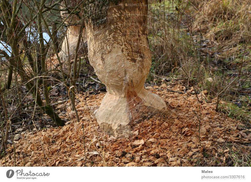 Biber ruinierten Baumstämme Nagetiere Küste Seeufer Flussufer Tier Natur Zähne Wasser Holz groß braun Wildtier wild Wald Baumstamm nagen