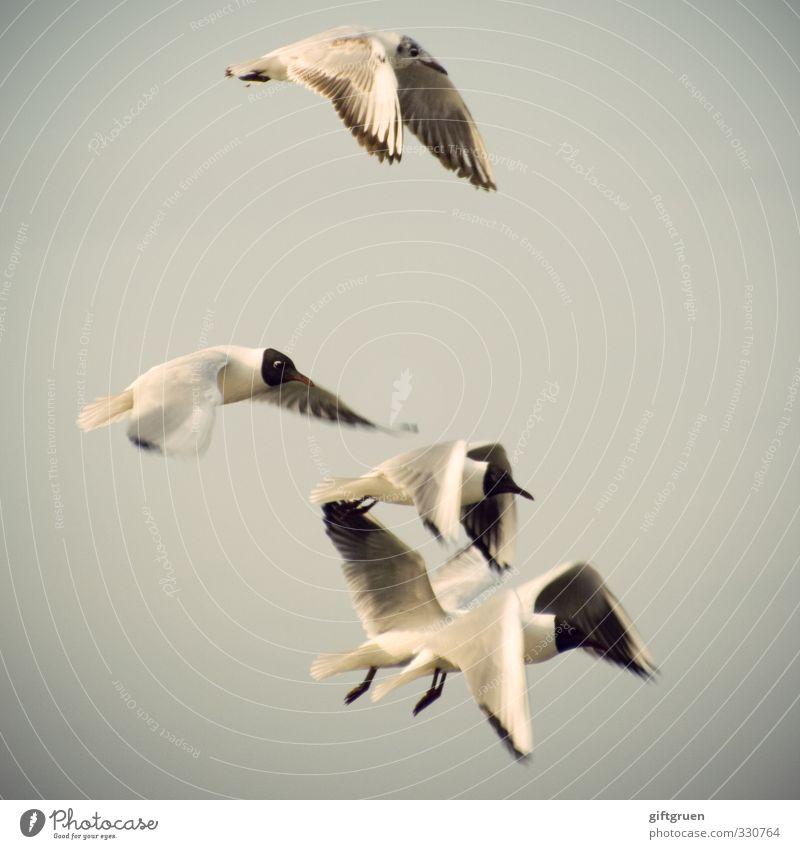 synchronflieger Urelemente Luft Küste Tier Vogel Flügel 4 Tiergruppe Schwarm fliegen elegant Leichtigkeit Möwe Lachmöwe Sturzflug gleiten Freiheit Feder Himmel