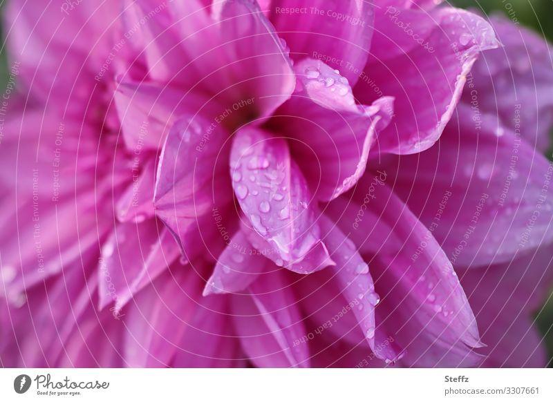 Dahlie im Regen Umwelt Natur Pflanze Sommer Blume Blüte Dahlien Blütenblatt Gartenpflanzen Deutschland Europa Blühend nah nass natürlich schön rosa Romantik