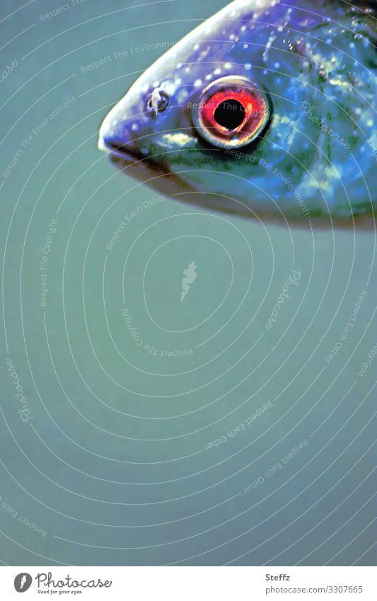 redeye Umwelt Natur Tier Wasser Wildtier Fisch Fischkopf Fischauge Fischmaul beobachten Blick Schwimmen & Baden außergewöhnlich nah schön blau rot Textfreiraum