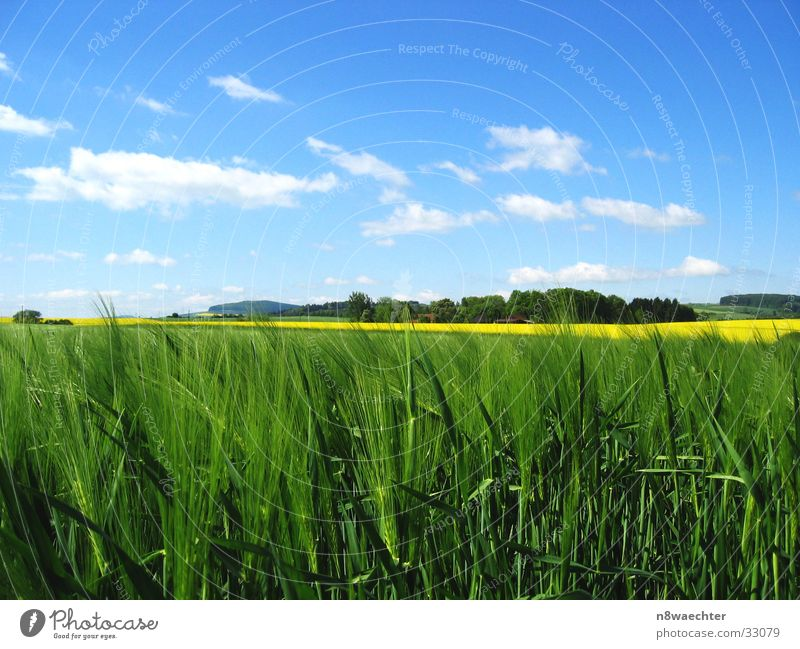 Felder im Mai Raps Roggen gelb grün Wolken weiß filigran Weserbergland Korn Strichhaar Himmel blau Detailaufnahme