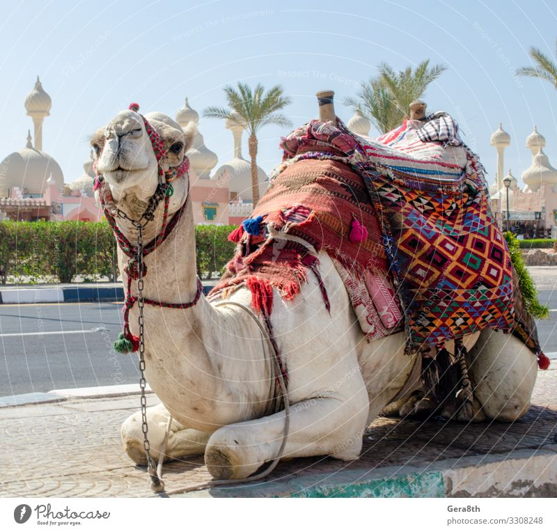 Kamelreiten in einer hellen Decke auf der sonnigen Straße in Ägypten exotisch Ferien & Urlaub & Reisen Tourismus Entertainment Tier Oase Stadt Verkehr Stoff