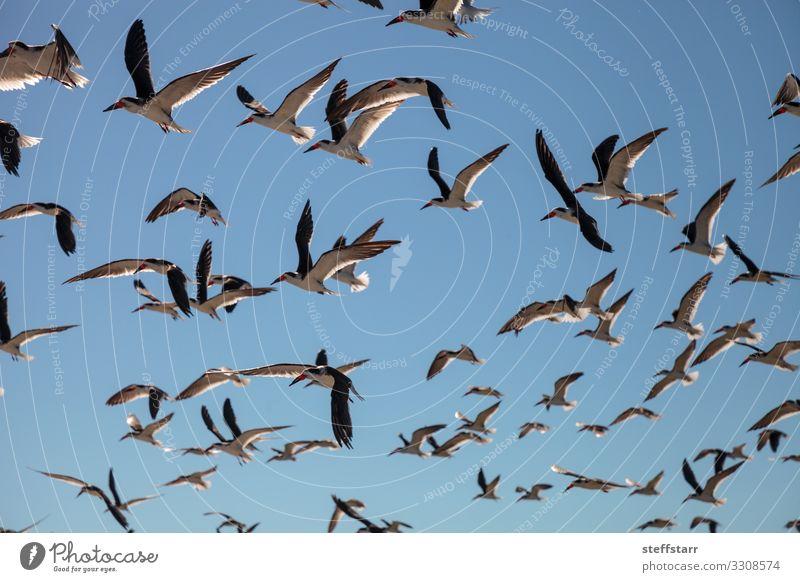 Fliegende Trauerseeschwalben Rynchops niger Strand Meer Natur Landschaft Küste Tier Wildtier Vogel Schwarm fliegen blau rot schwarz Seeschwalben Entenvögel
