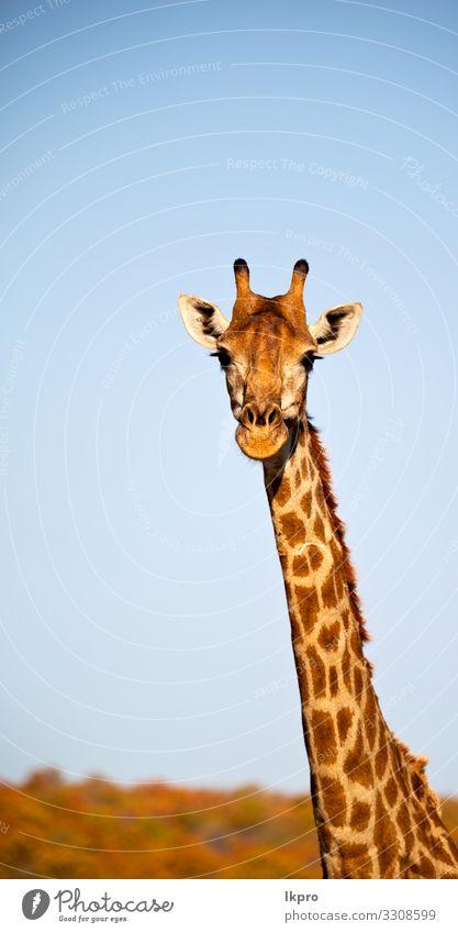 in südafrika naturschutzgebiet und giraffe Haut Gesicht Safari Mund Zoo Natur Tier Himmel Park stehen hoch lang lustig niedlich wild grau schwarz weiß Giraffe