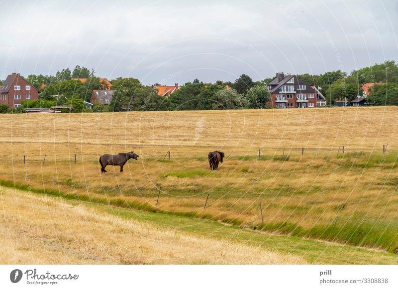 Spiekeroog in East Frisia Sommer Insel Landwirtschaft Forstwirtschaft Landschaft Pflanze Wiese Küste Dorf Pferd authentisch Ostfriesland Landkreis Friesland