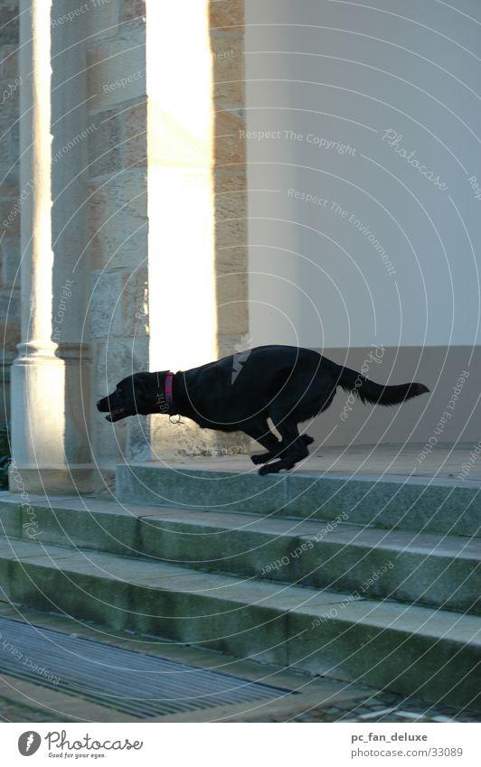 Schwarzer Gepard Hund Treppe rennen Laufsport 100 Meter Lauf