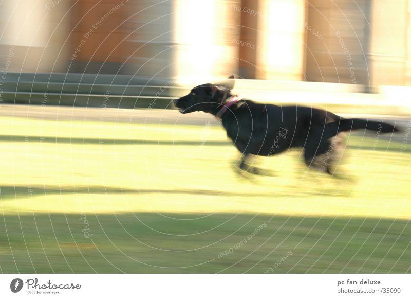 Running Dog Labrador Hund Unschärfe Bewegung Mitziehen rennen
