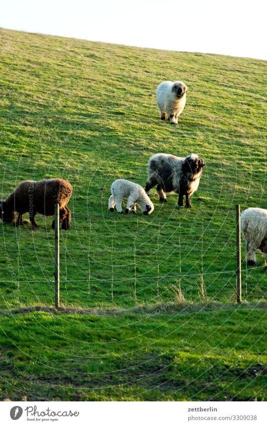 Schafe auf der Weide in Vitt Dorf Fischerdorf Insel Kap Arkona Küste Feuchtwiese Landschaft Mecklenburg-Vorpommern Ostsee Ostseeinsel Rügen