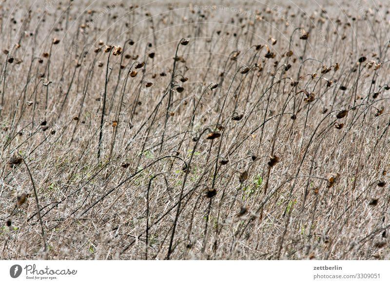 Sonnenblumen Feld Landwirtschaft Ackerbau trocken getrocknet vertrocknet Dürre verdorrt Wüste Steppe Klimawandel Meteorologie Klimazone Essen Ernährung