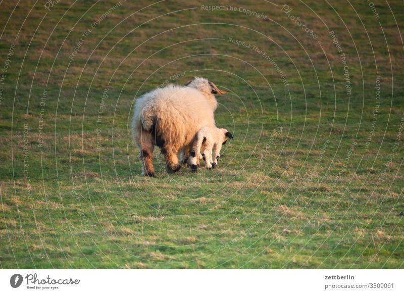 Ein Schaf und ein Lamm Kind Ferien & Urlaub & Reisen Landschaft Meer Tier Tierjunges Wiese Küste Insel Mutter Landwirtschaft Ostsee Dorf Weide Haustier Eltern