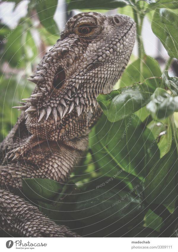 Schuppenvieh Badagam Echse Dino Dinosaurier Reptil Tier Natur Fauna Drache Echsen Tierporträt exotisch Blick Krallen Nahaufnahme beobachten Wildtier Tiergesicht